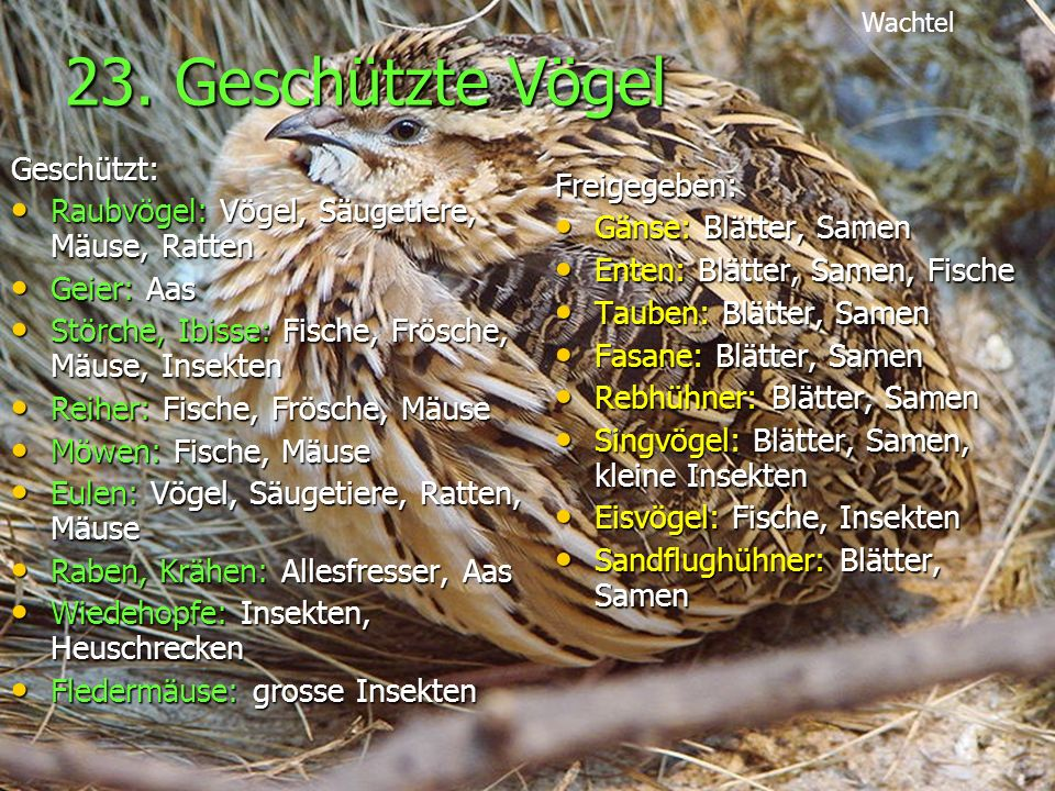 23. Geschützte Vögel Geschützt: Raubvögel: Vögel, Säugetiere, Mäuse, Ratten Raubvögel: Vögel, Säugetiere, Mäuse, Ratten Geier: Aas Geier: Aas Störche,