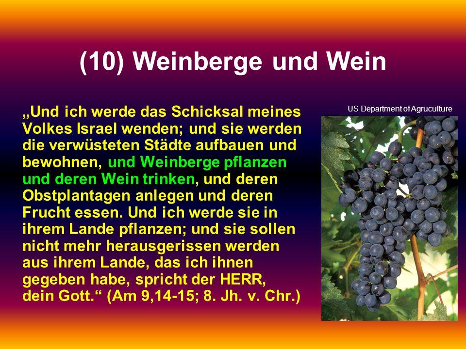 (10) Weinberge und Wein Und ich werde das Schicksal meines Volkes Israel wenden; und sie werden die verwüsteten Städte aufbauen und bewohnen, und Wein