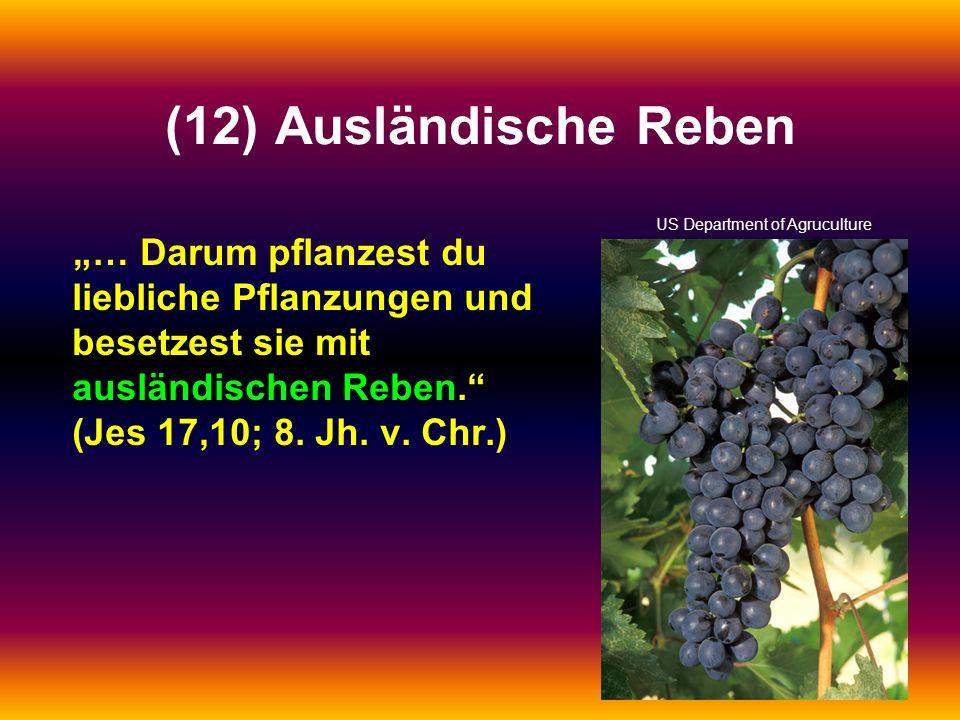 (12) Ausländische Reben … Darum pflanzest du liebliche Pflanzungen und besetzest sie mit ausländischen Reben. (Jes 17,10; 8. Jh. v. Chr.) US Departmen