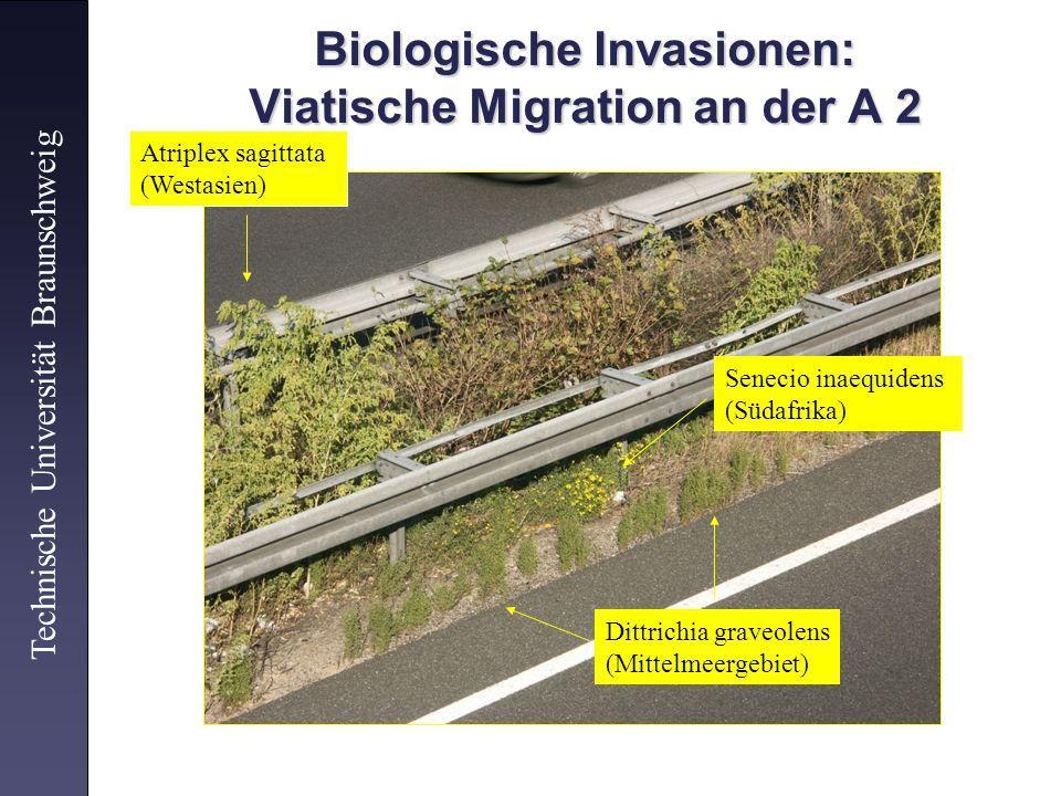 Biologische Invasionen: Viatische Migration an der A 2 Technische Universität Braunschweig Atriplex sagittata (Westasien) Senecio inaequidens (Südafri