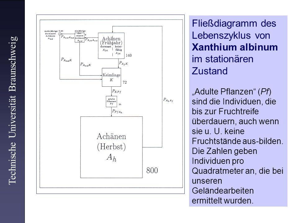 Technische Universität Braunschweig Fließdiagramm des Lebenszyklus von Xanthium albinum im stationären Zustand Adulte Pflanzen (Pf) sind die Individue