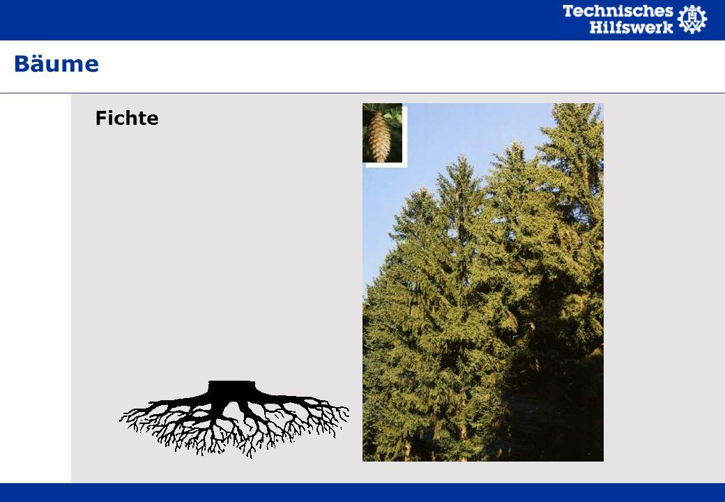 Fichte Bäume