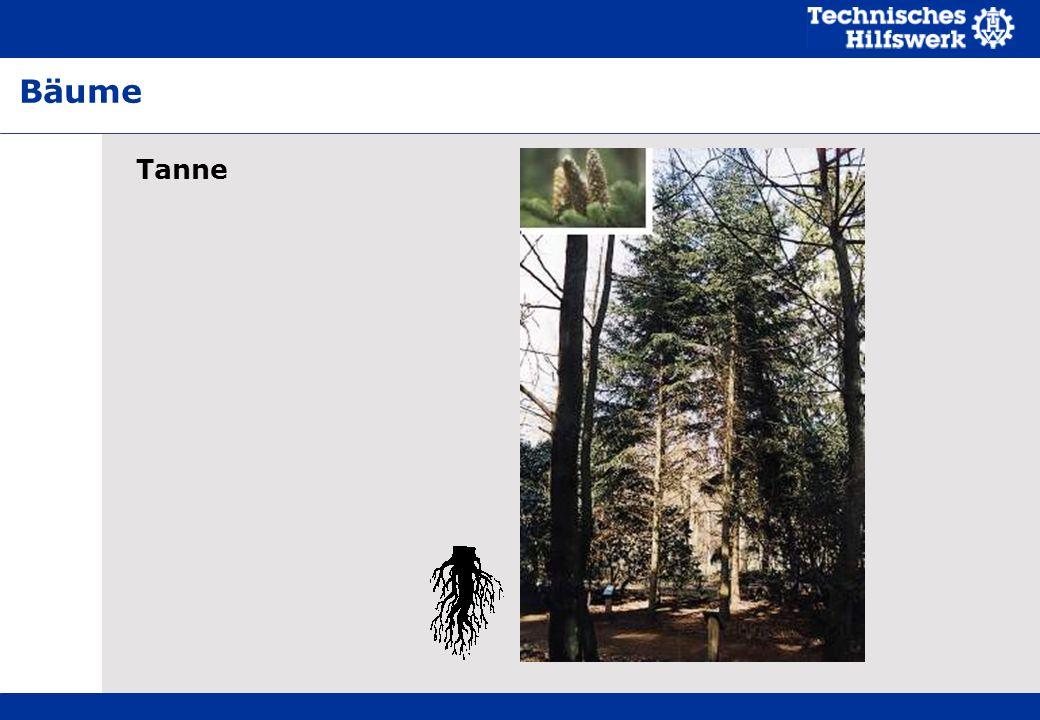 Tanne Bäume