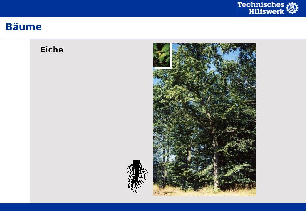 Eiche Bäume
