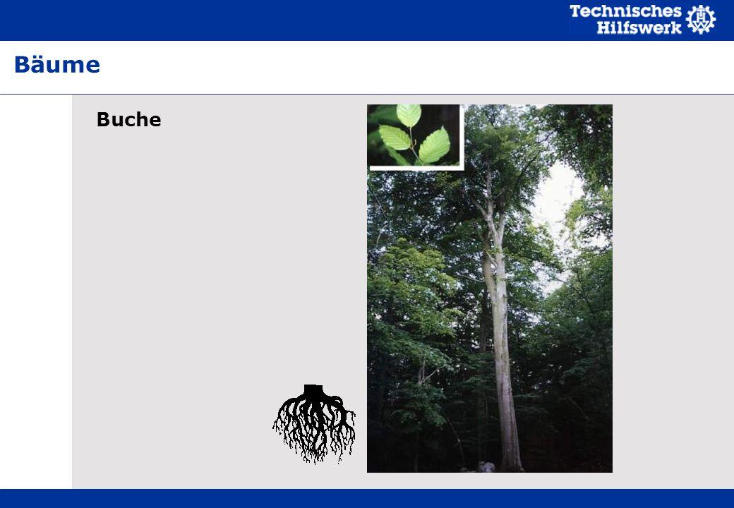Buche Bäume
