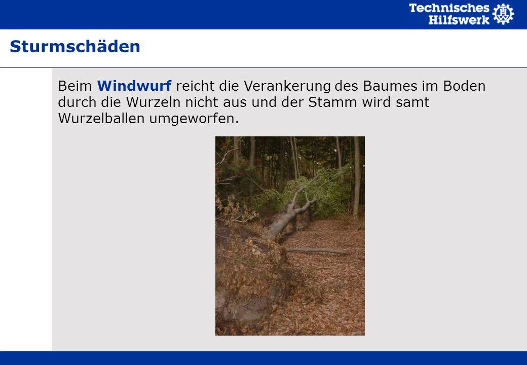 Sturmschäden Beim Windwurf reicht die Verankerung des Baumes im Boden durch die Wurzeln nicht aus und der Stamm wird samt Wurzelballen umgeworfen.