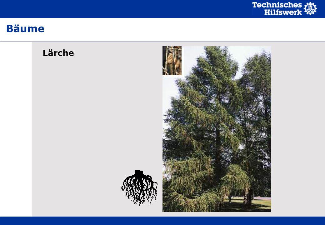 Lärche Bäume
