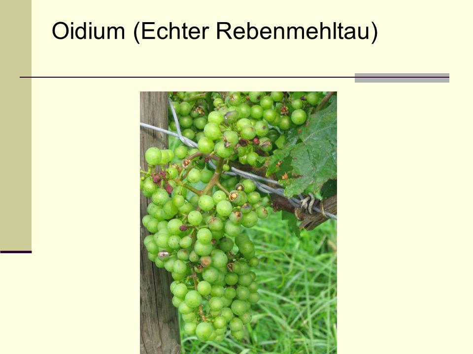 Oidium (Echter Rebenmehltau)