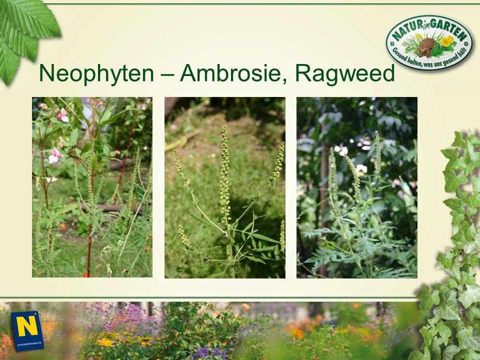 Neophyten – Ambrosie, Ragweed
