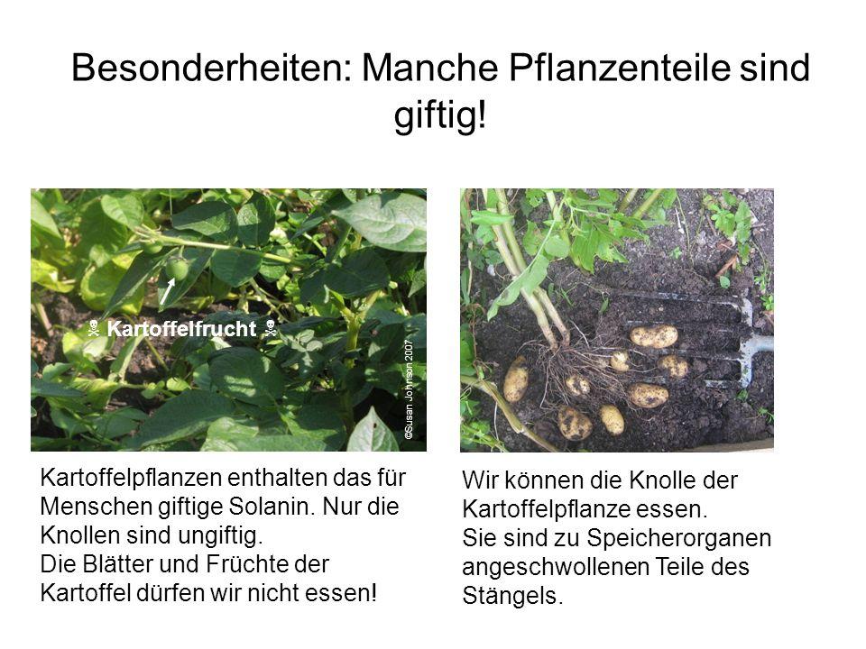 Besonderheiten: Manche Pflanzenteile sind giftig! ©Susan Johnson 2007 Kartoffelpflanzen enthalten das für Menschen giftige Solanin. Nur die Knollen si