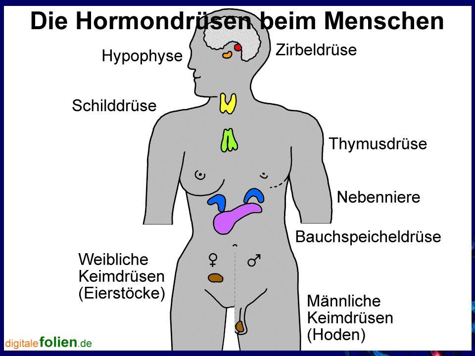 Steuerung der Hormondrüsen und deren Tätigkeit erfolgt von einer übergeordneten Hormondrüse: Der Hypophyse (Hirnanhangsdrüse)