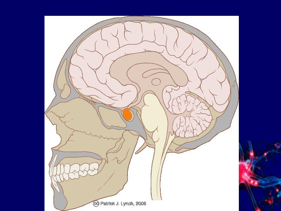 Hormone Die Hypophyse steuert die Tätigkeit aller anderen Hormondrüsen durch spezielle Botenstoffe: