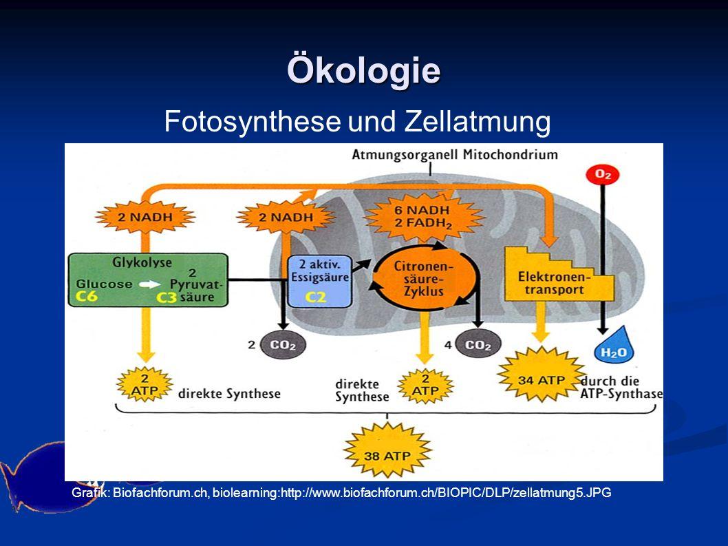 Ökologie Grafik: Biofachforum.ch, biolearning:http://www.biofachforum.ch/BIOPIC/DLP/zellatmung5.JPG Fotosynthese und Zellatmung
