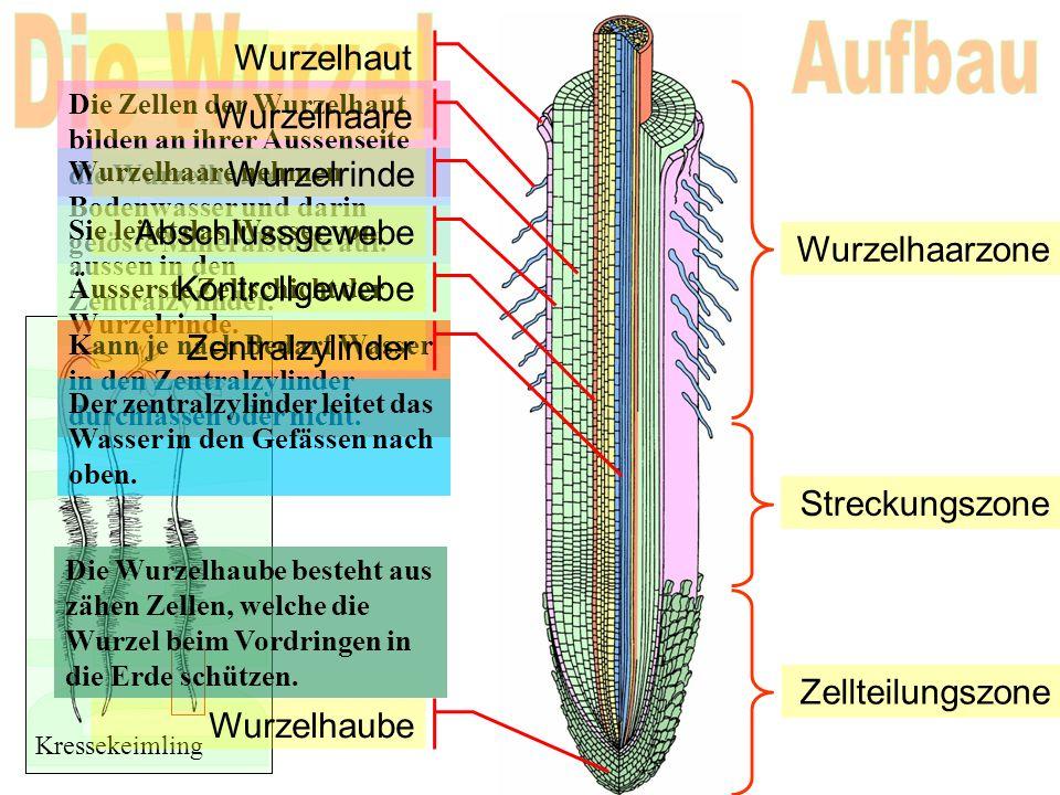 Wurzelhaut Die Zellen der Wurzelhaut bilden an ihrer Aussenseite die Wurzelhaare. Kressekeimling Wurzelhaare Wurzelhaare nehmen Bodenwasser und darin