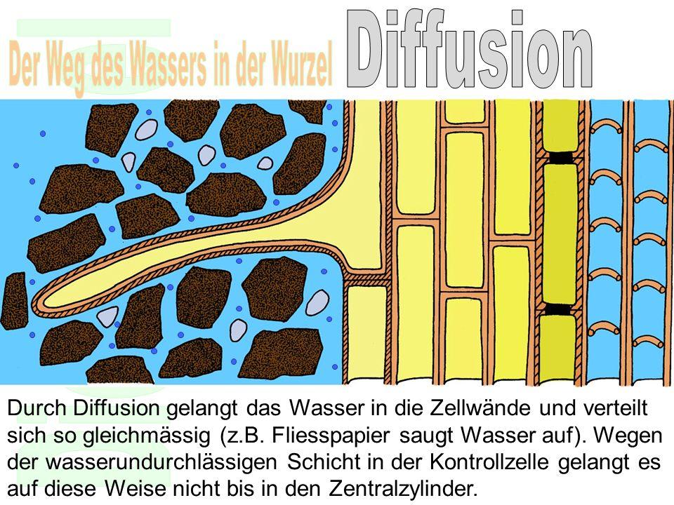 Durch Diffusion gelangt das Wasser in die Zellwände und verteilt sich so gleichmässig (z.B. Fliesspapier saugt Wasser auf). Wegen der wasserundurchläs