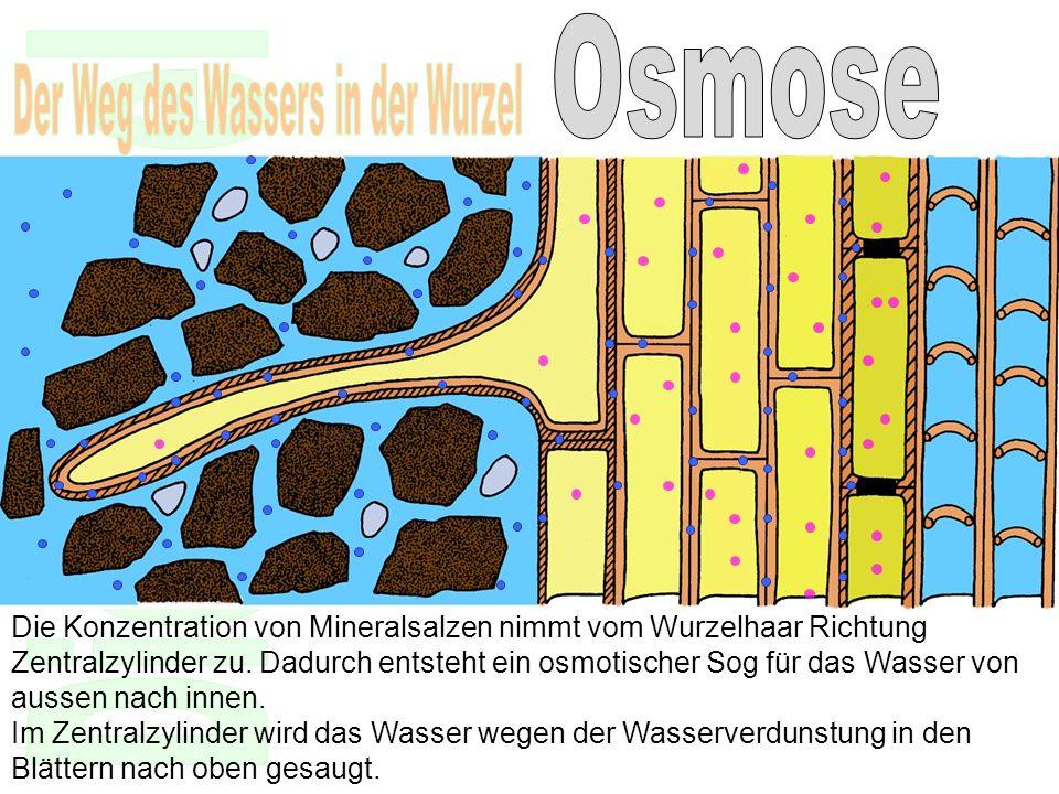 Die Konzentration von Mineralsalzen nimmt vom Wurzelhaar Richtung Zentralzylinder zu. Dadurch entsteht ein osmotischer Sog für das Wasser von aussen n