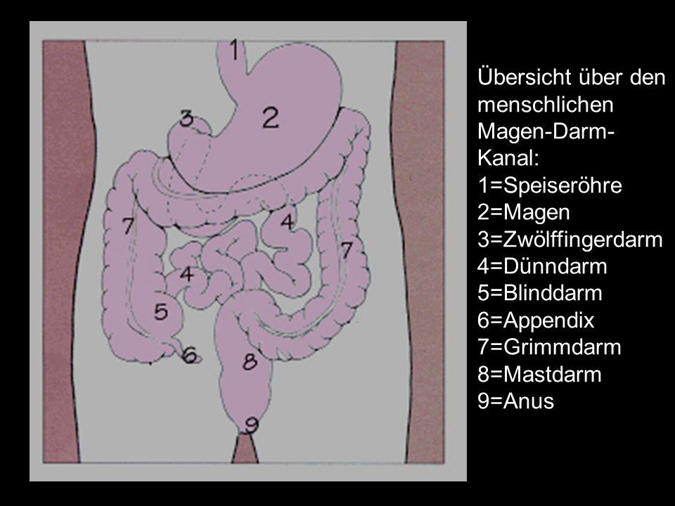 Übersicht über den menschlichen Magen-Darm- Kanal: 1=Speiseröhre 2=Magen 3=Zwölffingerdarm 4=Dünndarm 5=Blinddarm 6=Appendix 7=Grimmdarm 8=Mastdarm 9=