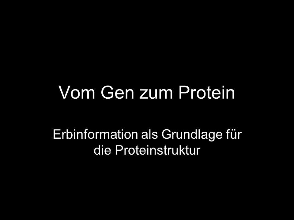 Vom Gen zum Protein Erbinformation als Grundlage für die Proteinstruktur