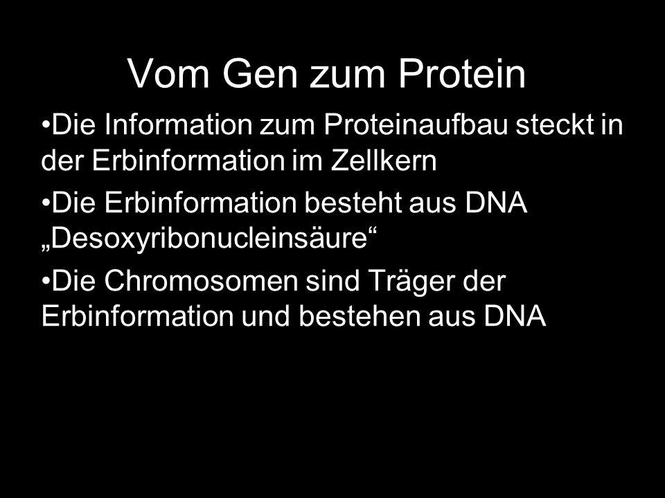 Vom Gen zum Protein Die Information zum Proteinaufbau steckt in der Erbinformation im Zellkern Die Erbinformation besteht aus DNA Desoxyribonucleinsäu