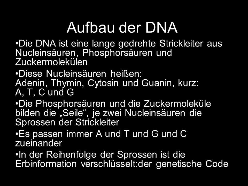 Aufbau der DNA Die DNA ist eine lange gedrehte Strickleiter aus Nucleinsäuren, Phosphorsäuren und Zuckermolekülen Diese Nucleinsäuren heißen: Adenin,