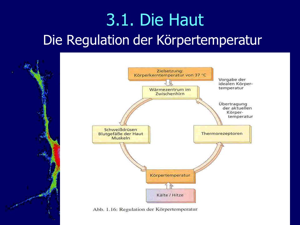 3.1. Die Haut Die Regulation der Körpertemperatur