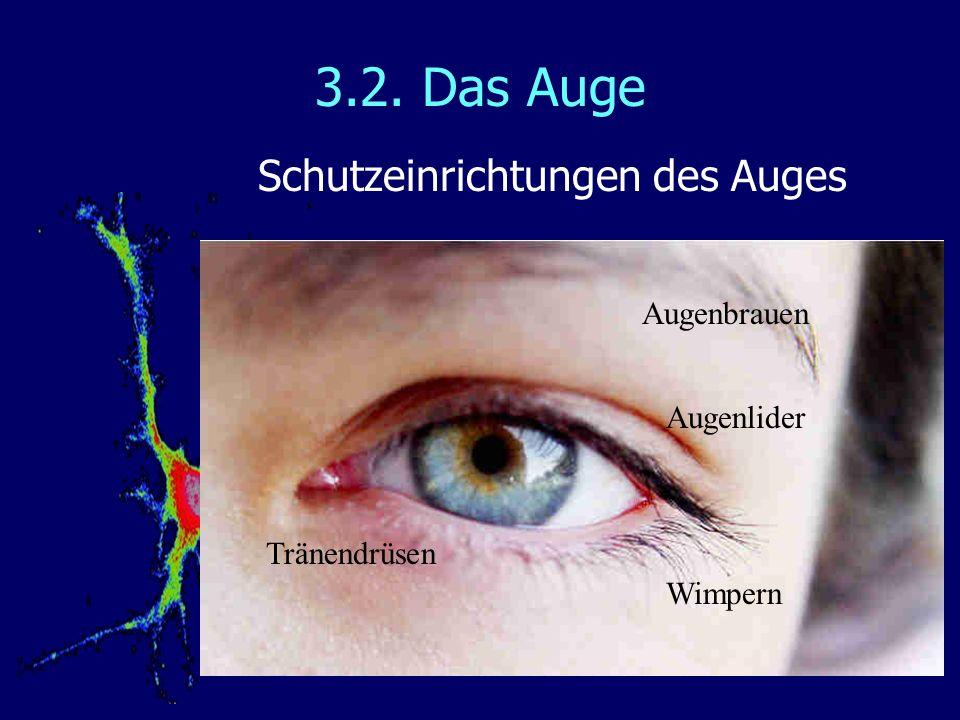 3.2. Das Auge Schutzeinrichtungen des Auges Augenbrauen Augenlider Wimpern Tränendrüsen