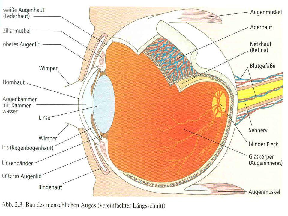 3.2. Das Auge Bau des Auges