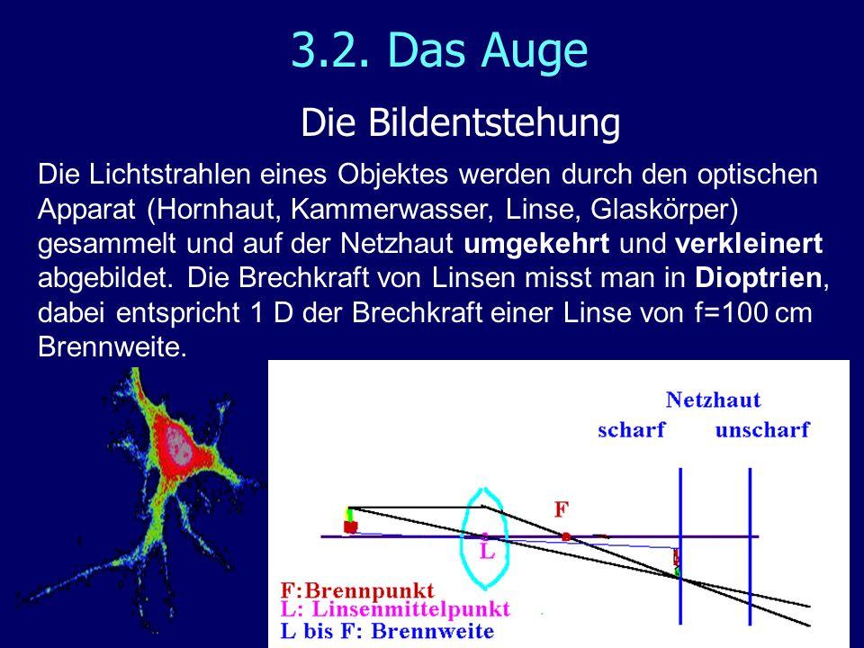 3.2. Das Auge Die Bildentstehung Die Lichtstrahlen eines Objektes werden durch den optischen Apparat (Hornhaut, Kammerwasser, Linse, Glaskörper) gesam