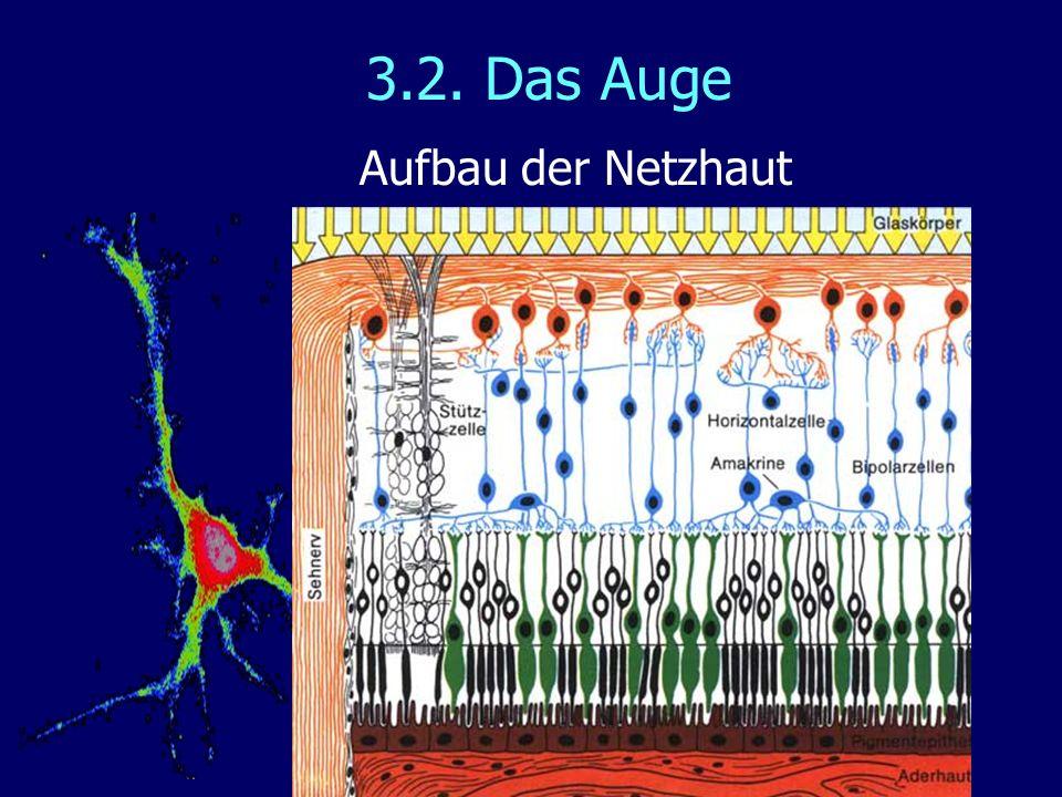 3.2. Das Auge Aufbau der Netzhaut