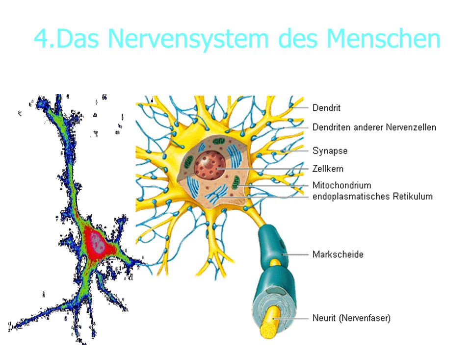 4.Das Nervensystem des Menschen 4.1. Bau der Nervenzelle