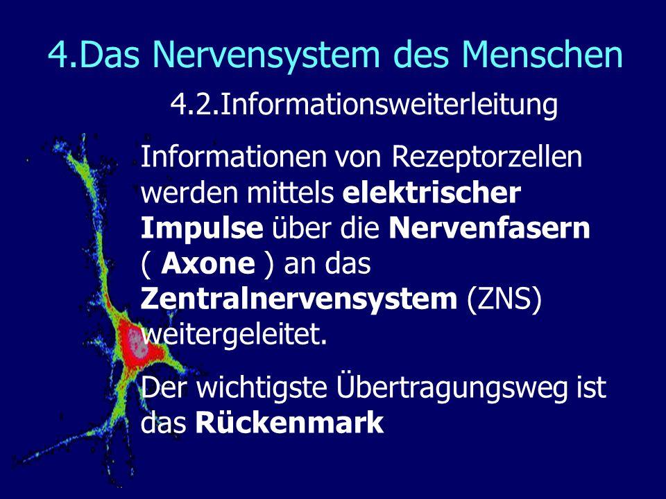 4.Das Nervensystem des Menschen 4.2.Informationsweiterleitung Informationen von Rezeptorzellen werden mittels elektrischer Impulse über die Nervenfasern ( Axone ) an das Zentralnervensystem (ZNS) weitergeleitet.