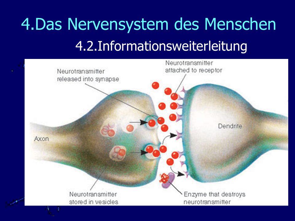 4.Das Nervensystem des Menschen 4.2.Informationsweiterleitung Die Übertragung von Nervenzelle auf Nervenzelle erfolgt über Synapsen.