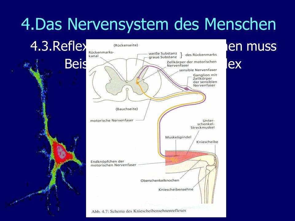 4.Das Nervensystem des Menschen 4.3.Reflexe – wenn es schnell gehen muss Beispiel: Der Kniesehnenreflex