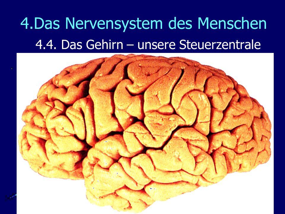 4.Das Nervensystem des Menschen 4.4. Das Gehirn – unsere Steuerzentrale