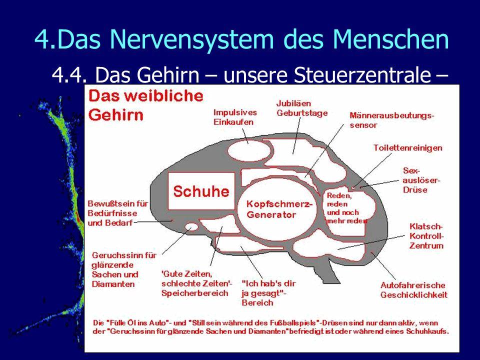 4.Das Nervensystem des Menschen 4.4. Das Gehirn – unsere Steuerzentrale – Männer – Frauen - Unterschiede