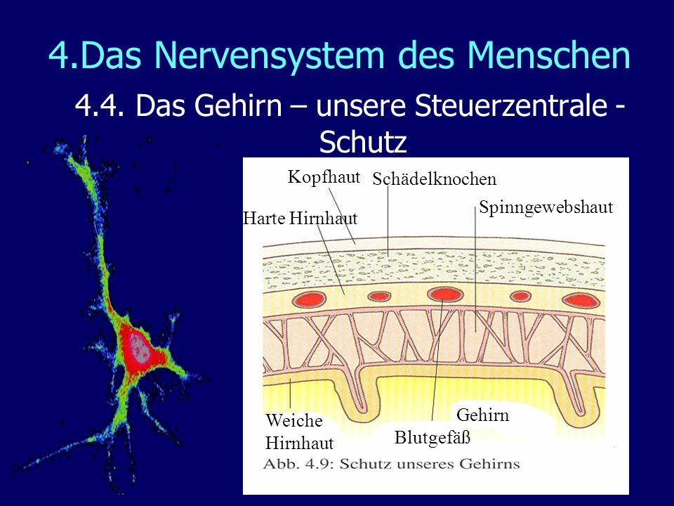 4.Das Nervensystem des Menschen 4.4. Das Gehirn – unsere Steuerzentrale - Schutz Kopfhaut Schädelknochen Harte Hirnhaut Blutgefäß Spinngewebshaut Weic
