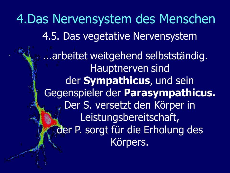 4.Das Nervensystem des Menschen 4.5. Das vegetative Nervensystem...arbeitet weitgehend selbstständig. Hauptnerven sind der Sympathicus, und sein Gegen