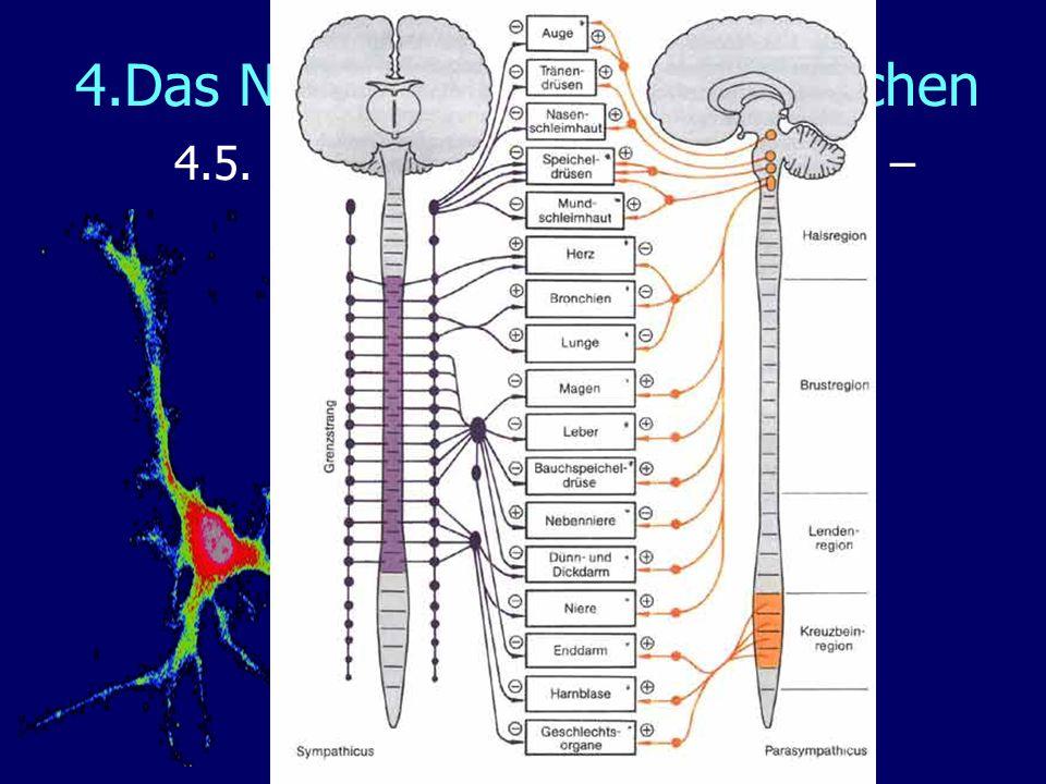 4.Das Nervensystem des Menschen 4.5. Das vegetative Nervensystem – das Gegenspielerprinzip