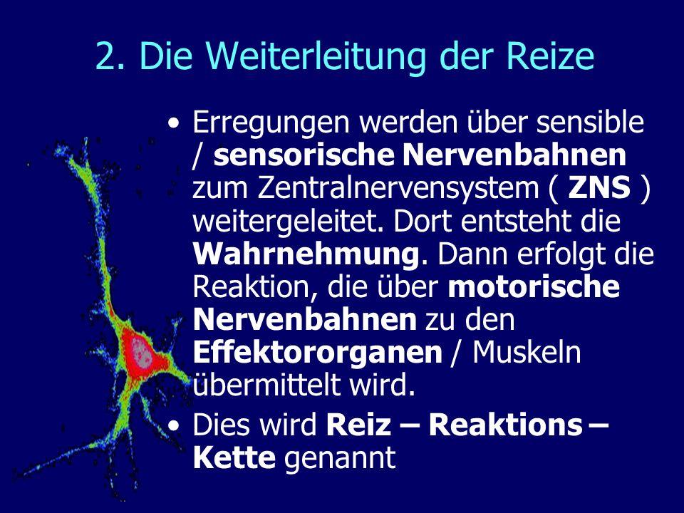 Erregungen werden über sensible / sensorische Nervenbahnen zum Zentralnervensystem ( ZNS ) weitergeleitet. Dort entsteht die Wahrnehmung. Dann erfolgt