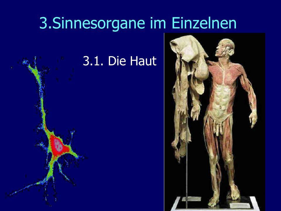 3.Sinnesorgane im Einzelnen 3.1. Die Haut