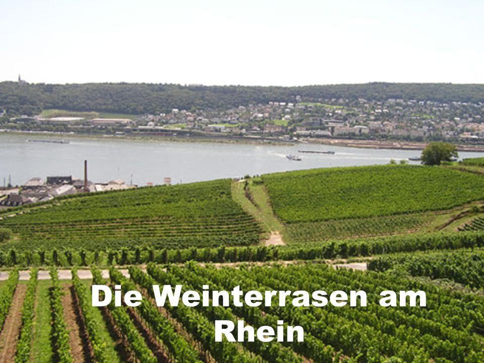 Die Weinterrasen am Rhein
