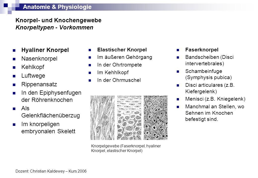 Anatomie & Physiologie Dozent: Christian Kaldewey – Kurs 2006 Hyaliner Knorpel Nasenknorpel Kehlkopf Luftwege Rippenansatz In den Epiphysenfugen der R
