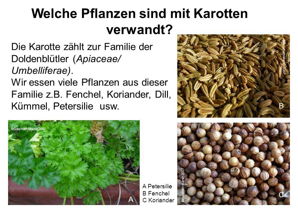 Die Karotte zählt zur Familie der Doldenblütler (Apiaceae/ Umbelliferae). Wir essen viele Pflanzen aus dieser Familie z.B. Fenchel, Koriander, Dill, K