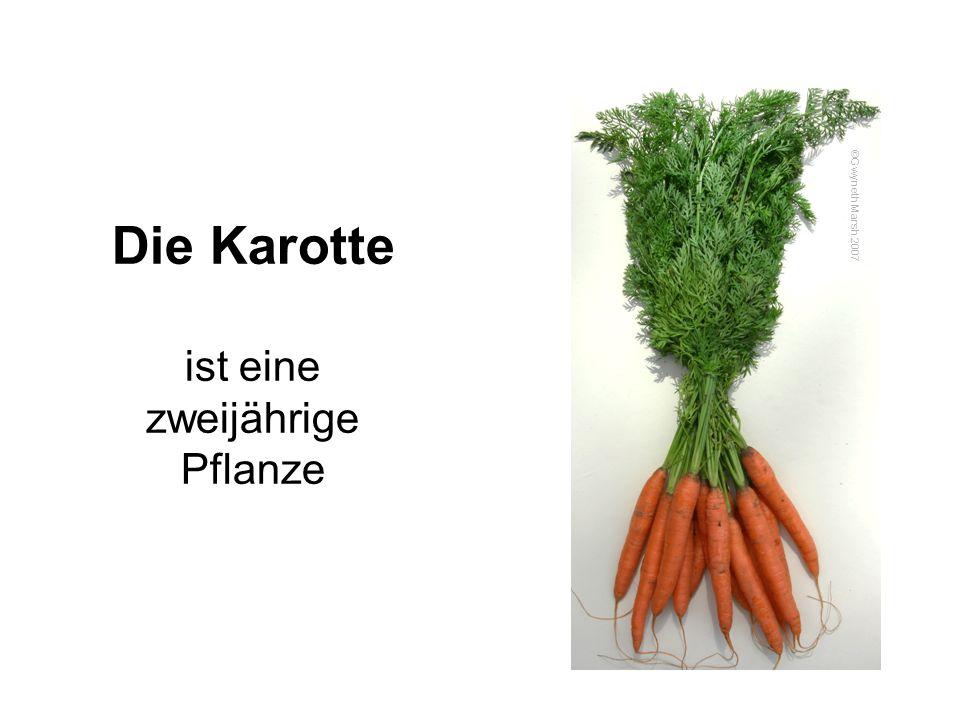Der Lebenszyklus der Karotte Karotten sind zweijährige Pflanzen.