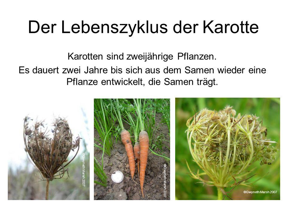 Der Lebenszyklus der Karotte Karotten sind zweijährige Pflanzen. Es dauert zwei Jahre bis sich aus dem Samen wieder eine Pflanze entwickelt, die Samen