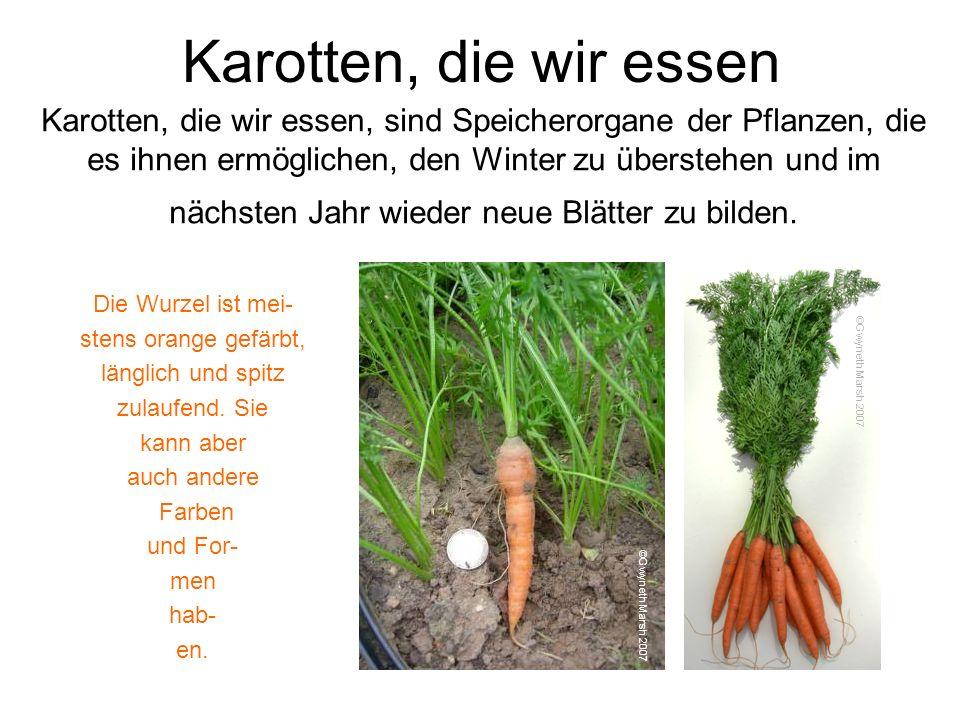Karotten, die wir essen Karotten, die wir essen, sind Speicherorgane der Pflanzen, die es ihnen ermöglichen, den Winter zu überstehen und im nächsten