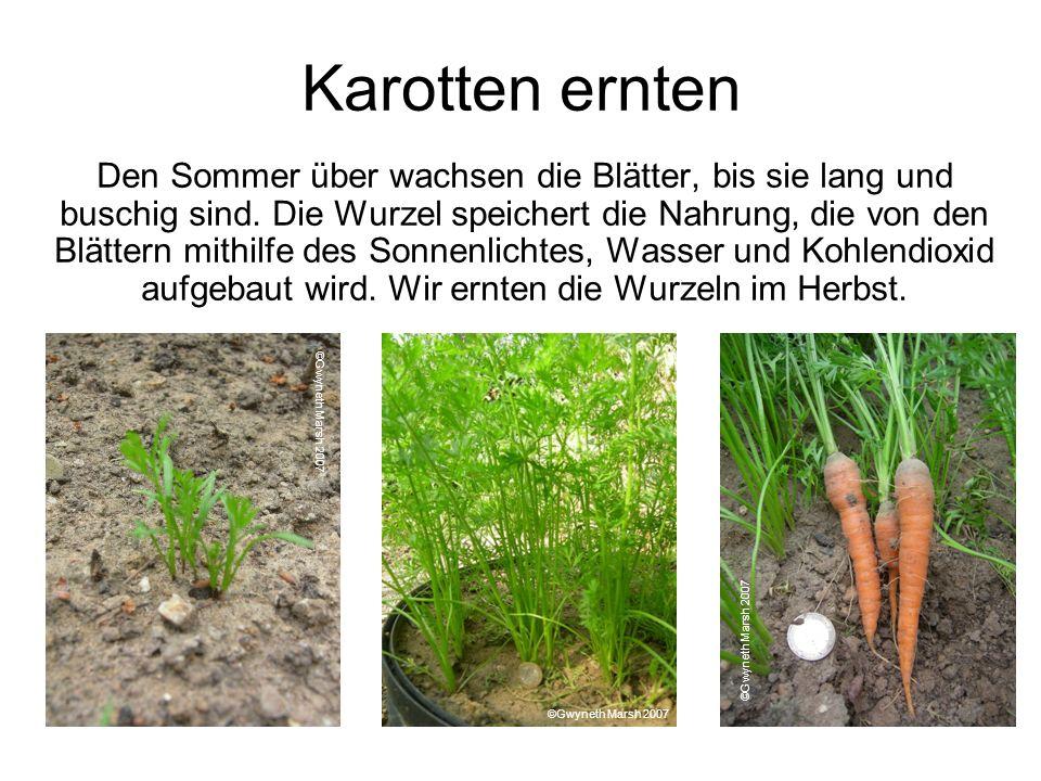 Karotten ernten Den Sommer über wachsen die Blätter, bis sie lang und buschig sind. Die Wurzel speichert die Nahrung, die von den Blättern mithilfe de
