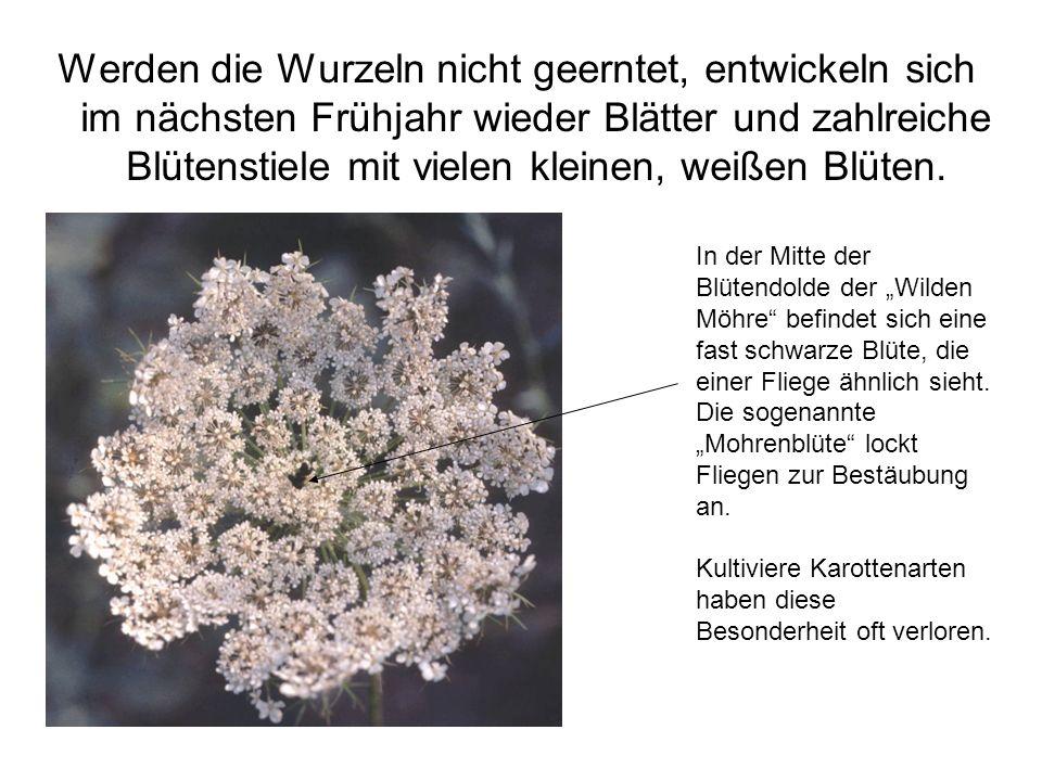 Werden die Wurzeln nicht geerntet, entwickeln sich im nächsten Frühjahr wieder Blätter und zahlreiche Blütenstiele mit vielen kleinen, weißen Blüten.