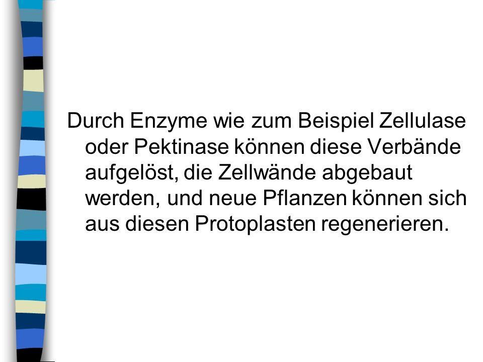 Durch Enzyme wie zum Beispiel Zellulase oder Pektinase können diese Verbände aufgelöst, die Zellwände abgebaut werden, und neue Pflanzen können sich a