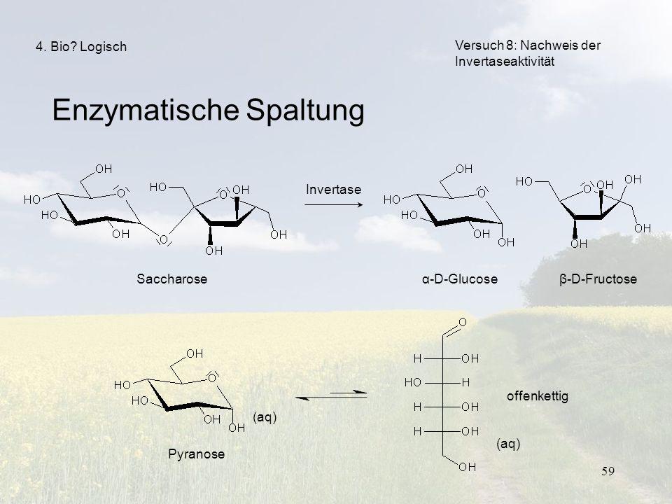 59 Enzymatische Spaltung Versuch 8: Nachweis der Invertaseaktivität 4. Bio? Logisch Invertase Saccharoseα-D-Glucoseβ-D-Fructose Pyranose (aq) offenket